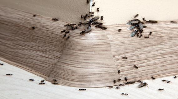 Mieren Bestrijden Wat Te Doen Tegen Mieren In Huis Of Buiten